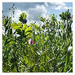 Hairy Vetch & Winter Rye Seed Mix