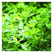 Organic Alfalfa Seeds, Dormant