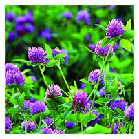 Double Cut Red Clover Seeds