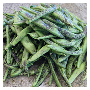 NS/S Common Bean Seeds - Rattlesnake