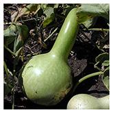 NS/S Gourd Seeds - O'odham Dipper