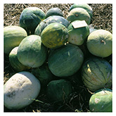 NS/S Melon Seeds - Acoma Watermelon