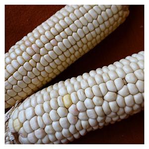 NS/S Corn Seeds - Santo Domingo White