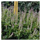 NS/S Herb Seeds - Yoeme Alvaaka Basil