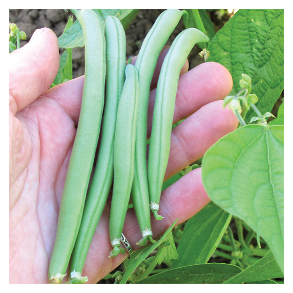 Territorial Seeds - Provider Bush Bean