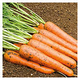 SERO Biodynamic® Seeds - Rodelika Carrot