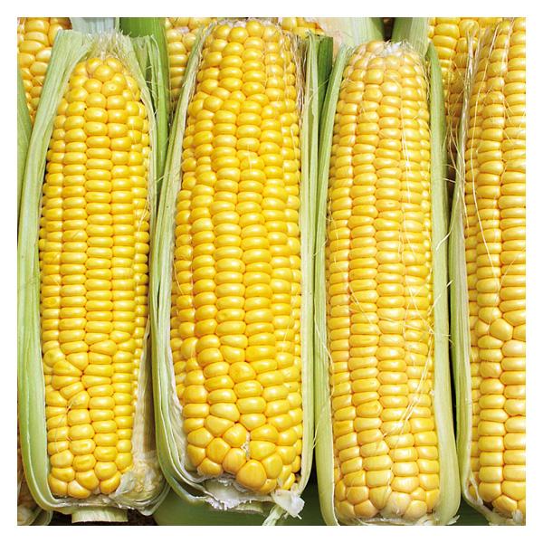 Territorial Seeds - Damaun Corn