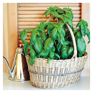 Territorial Seeds - Sweet Basil