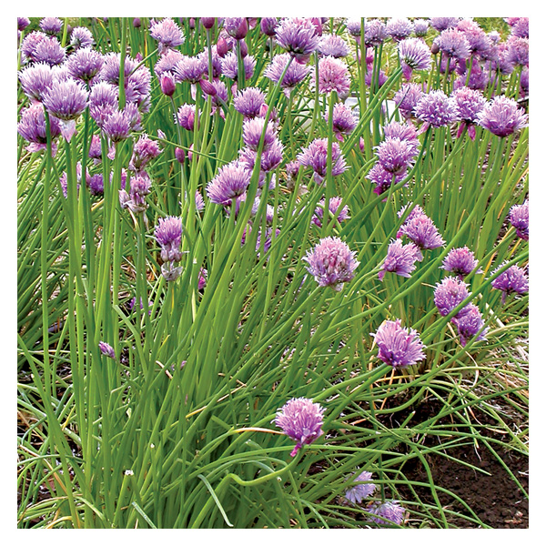 Territorial Seeds - Chives