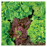 Territorial Seeds - Dynamic Lettuce Mix