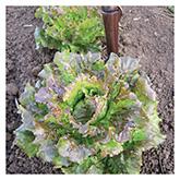 SERO Biodynamic® Seeds - Canasta Lettuce