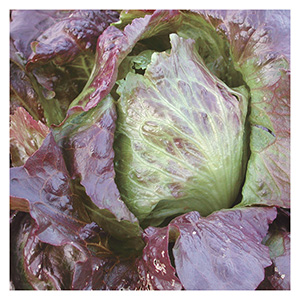 Territorial Seeds - Red Iceberg Lettuce