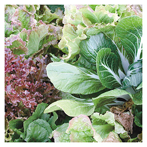 Territorial Seeds – Mesclun Salad Blend