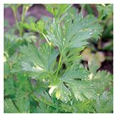 Territorial Seeds - French Parsley