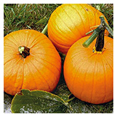 Territorial Seeds – Jack O'Lantern Pumpkin