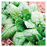 Territorial Seeds – Verdil Spinach