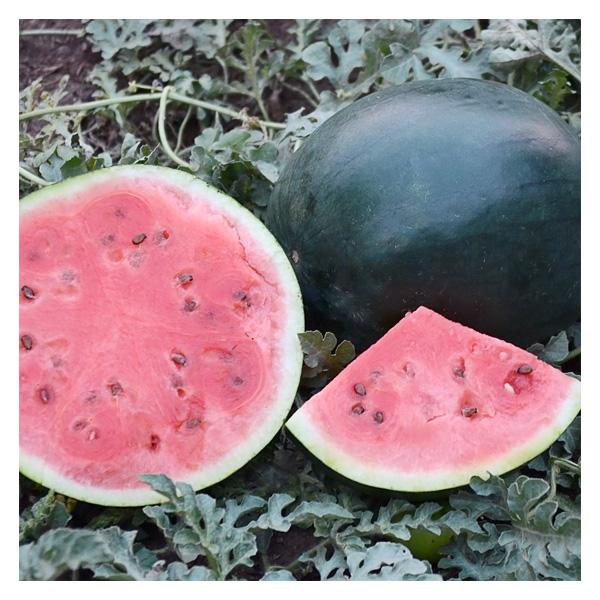 Territorial Seeds – Blacktail Mountain Watermelon