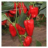SERO Biodynamic® Seeds - Jubilandska Pepper