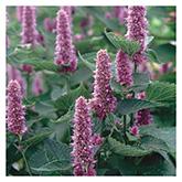 SERO Biodynamic® Seeds - Hyssop