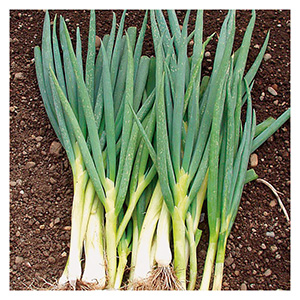 Territorial Seeds – Ishikura Long White Onion