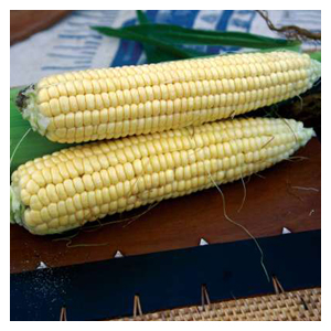 Territorial Seeds – Golden Bantam Corn