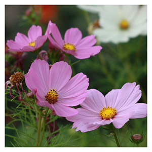 Territorial Seeds – Cosmos
