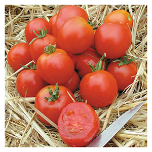 Territorial Seeds – Stupice Tomato