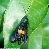 Scentry Group A Lures - Clearwing Peachtree Borer