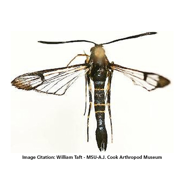 Scentry Lures - Clearwing Rhododendron Borer