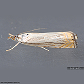 Scentry Lures - Cranberry Girdler/Sod Webworm