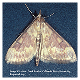 Scentry Lures - European Corn Borer (Iowa Strain)