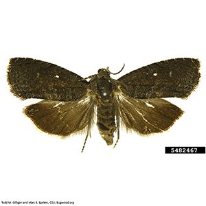 Scentry Lures - Oriental Fruit Moth