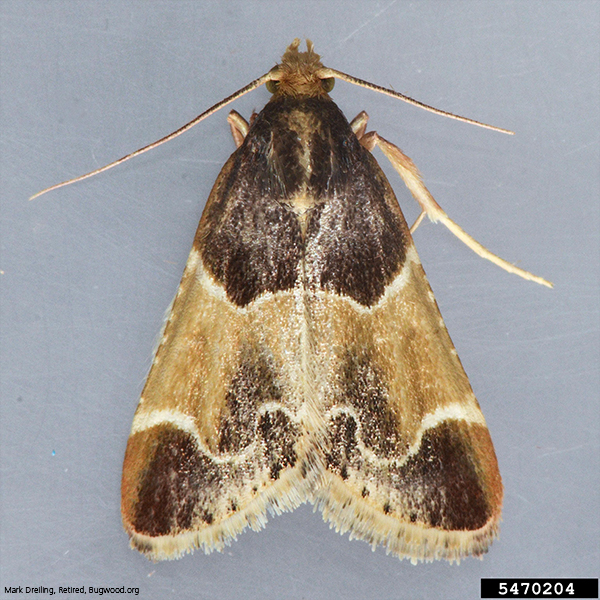 Scentry Lures - Indian Meal Moth