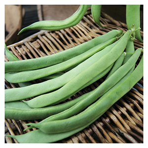 Territorial Seeds - Kentucky Wonder Bean