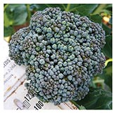 Territorial Seeds - Umpqua Broccoli