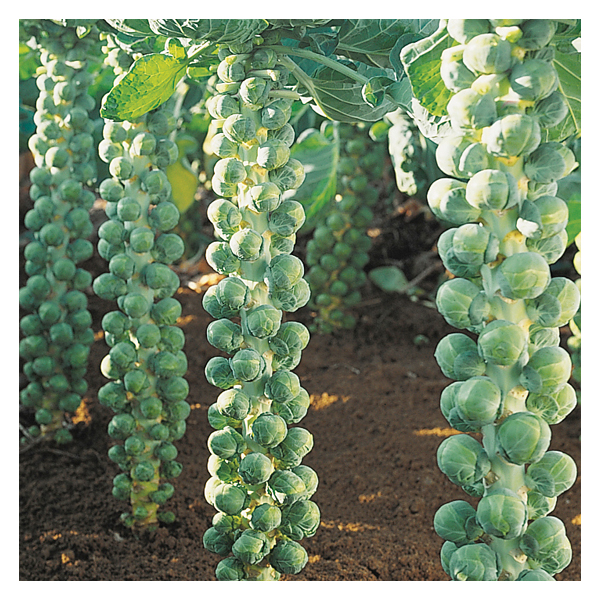 Territorial Seeds - Igor Brussel Sprouts
