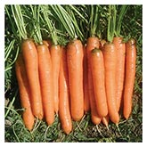 Territorial Seeds - Yaya Carrot