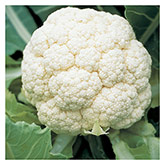 Territorial Seeds - Goodman Cauliflower