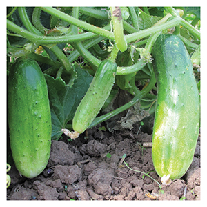Territorial Seeds - Double Yield Cucumber