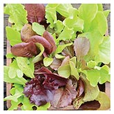 Territorial Seeds - Salad Rave Mix Lettuce
