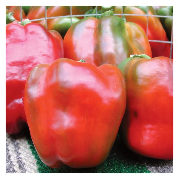 Territorial Seeds - Califonia Wonder 300 Pepper