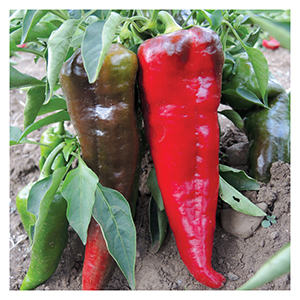 Territorial Seeds - Italian Sweet Pepper