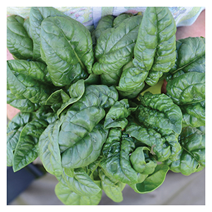 Territorial Seeds - Bloomsdale Savoy Spinach