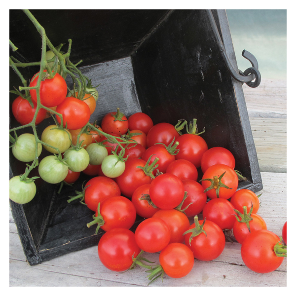 Territorial Seeds - Cherry Buzz Tomato