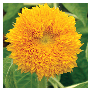 Territorial Seeds - Teddy Bear Sunflower