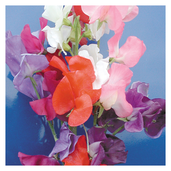 Territorial Seeds - Sweet Pea Mammoth Choice Mix