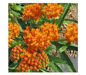 Terroir Seeds - Butterfly Milkweed