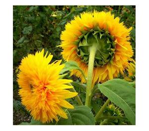 Terroir Seeds - Teddy Bear Sunflower