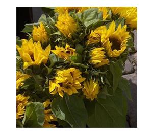 Terroir Seeds - Van Gogh Mix Sunflowers