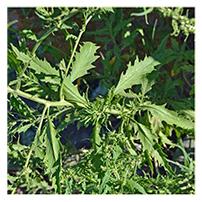 Terroir Seeds - Epazote